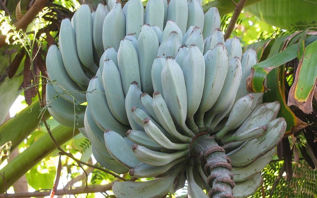 сини банани